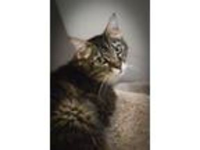Adopt Demeris a Domestic Short Hair