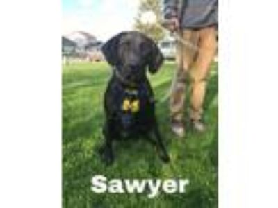 Adopt Sawyer a Black Labrador Retriever, Great Dane