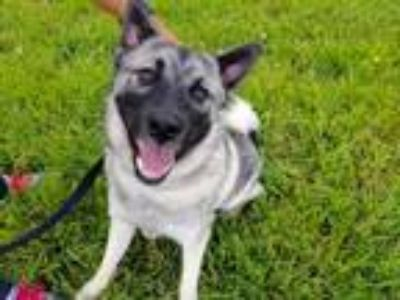 Adopt Ty a Black - with Tan, Yellow or Fawn Norwegian Elkhound / Mixed dog in