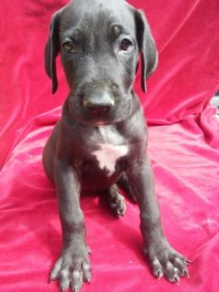 Great Dane PUPPY FOR SALE ADN-90345 - Best Full Blooded Great Dane Puppies