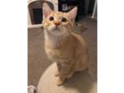 Adopt Kiwi a Orange or Red (Mostly) Domestic Shorthair (short coat) cat in