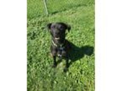 Adopt Bruce Wayne a Black Labrador Retriever / Mixed dog in Watauga
