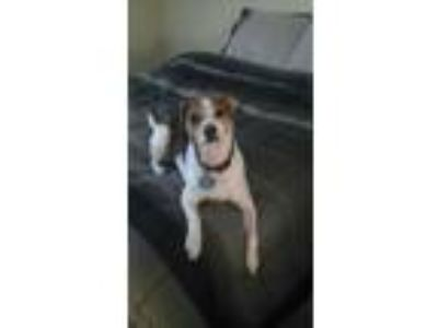 Adopt Maggie/CP a White - with Brown or Chocolate Jack Russell Terrier / Mixed