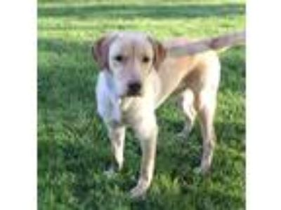 Adopt Cruiser a Tan/Yellow/Fawn Labrador Retriever / Mixed dog in Joliet