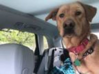 Adopt Jill a Yellow Labrador Retriever