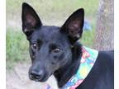 Adopt Pepper a Black - with White Border Collie / Terrier (Unknown Type