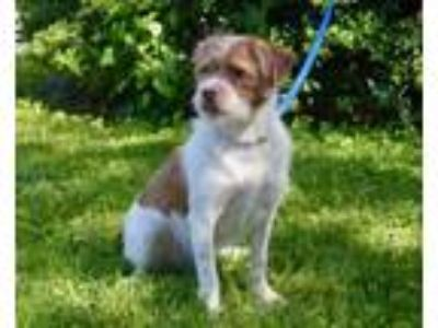 Adopt Sir Teddy a Wirehaired Terrier, Mixed Breed