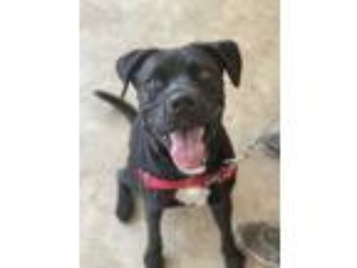 Adopt Frosty a Black Mastiff / Boxer / Mixed dog in Chicago, IL (23551166)