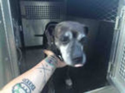 Adopt SHANNON* a Brindle American Pit Bull Terrier / Mixed dog in Garland
