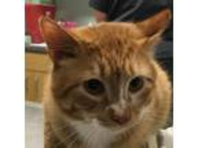 Adopt Hampton a Orange or Red Domestic Shorthair / Domestic Shorthair / Mixed