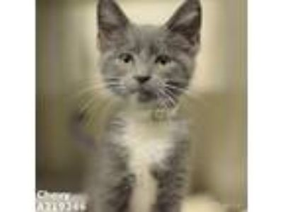 Adopt CHEVY a Gray, Blue or Silver Tabby Domestic Shorthair / Mixed (short coat)