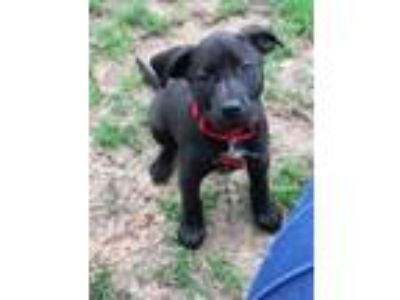 Adopt Madeline a Black Labrador Retriever / Mixed dog in Boston, MA (25280539)