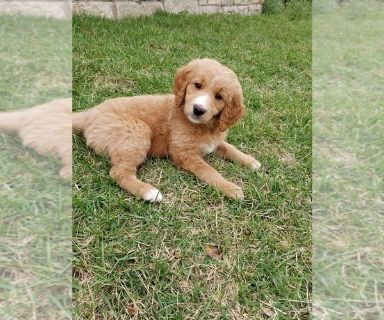 Goldendoodle PUPPY FOR SALE ADN-130997 - Goldendoodle Puppies  1 female available