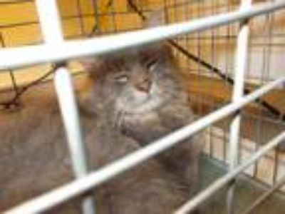 Adopt WHISKERS a Gray or Blue (Mostly) Domestic Mediumhair / Mixed (medium coat)
