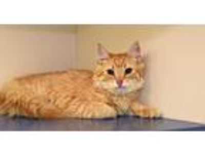 Adopt Sansa a Domestic Short Hair