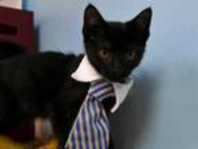 Adopt Dylan a Domestic Shorthair / Mixed cat in Portland, OR (25831457)