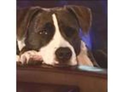 Adopt Tessie a Brindle - with White American Staffordshire Terrier / Mixed dog