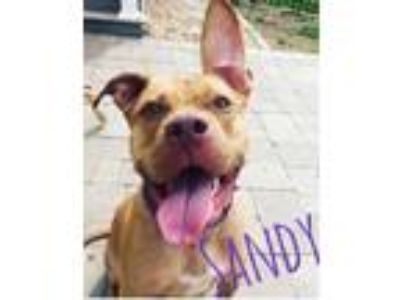 Adopt Sandy a Pit Bull Terrier, American Staffordshire Terrier
