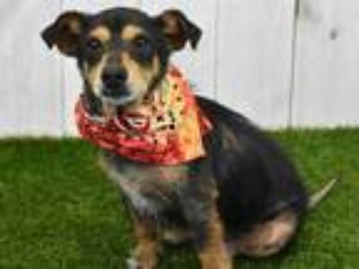 Adopt IRON MAN a Black - with Tan, Yellow or Fawn Dachshund / Mixed dog in