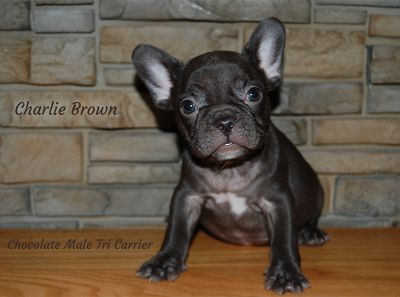 French Bulldog PUPPY FOR SALE ADN-103697 - Akc Chcocolate French Bulldog