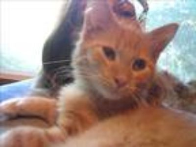 Adopt Cobalt a Orange or Red (Mostly) Domestic Mediumhair (medium coat) cat in