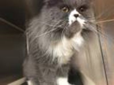 Adopt HYMEE a Gray or Blue (Mostly) Persian / Mixed (long coat) cat in Murray