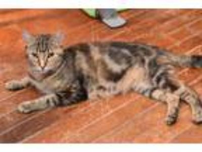 Adopt Queen Elizabeth a Domestic Short Hair