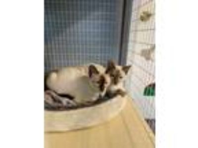 Adopt Apollo a Brown or Chocolate Siamese / Domestic Shorthair / Mixed cat in