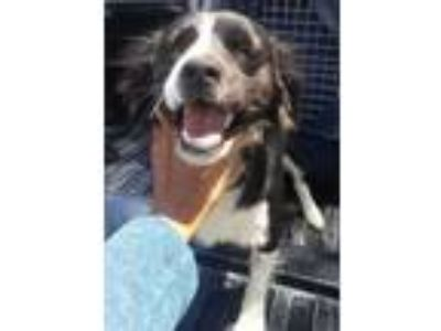 Adopt WYBIE (Courtest List) a Border Collie