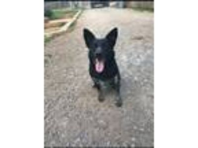 Adopt Ducky a Black - with White Border Collie / Australian Cattle Dog dog in