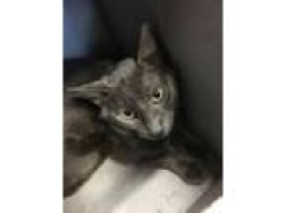 Adopt Clovis a Russian Blue, Domestic Short Hair