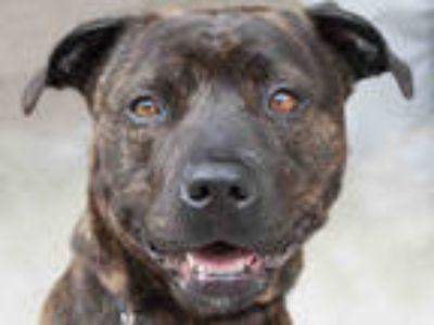 Adopt MONA a Brindle American Pit Bull Terrier / Mixed dog in Lompoc