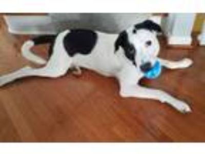 Adopt Miles a Great Pyrenees, American Staffordshire Terrier