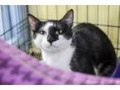 Adopt Figaro a Domestic Mediumhair / Mixed (short coat) cat in New Orleans