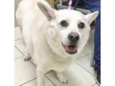 Adopt Dobby a White Corgi / Shepherd (Unknown Type) / Mixed dog in Wheaton