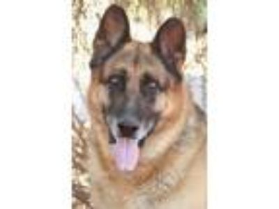 Adopt Oso von Oberon a Tan/Yellow/Fawn - with Black German Shepherd Dog / Mixed