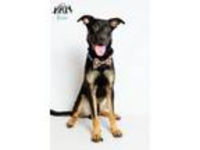 Adopt Quincy in Training a German Shepherd Dog