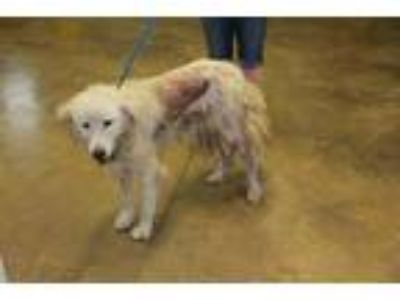 Adopt Hope a White Great Pyrenees / Mixed dog in Cleveland, AL (25899882)