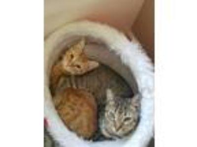 Adopt CRACKER a Brown Tabby Domestic Shorthair (short coat) cat in Wilmington