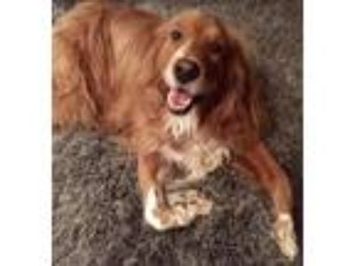 Adopt Dug a Red/Golden/Orange/Chestnut - with White Golden Retriever / Irish
