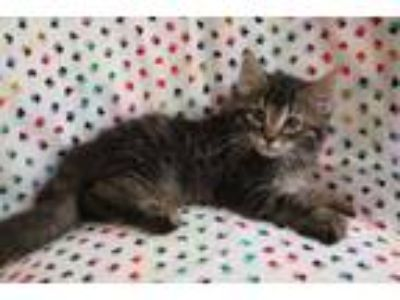 Adopt Copernicus a Domestic Short Hair