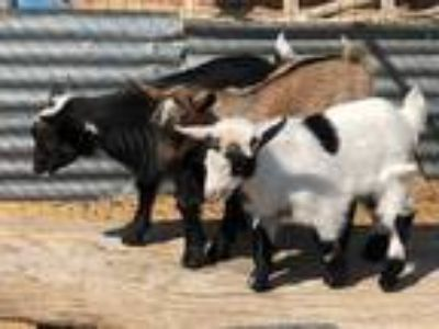 Adopt Arrow a Goat farm-type animal in Palmdale, CA (24912794)