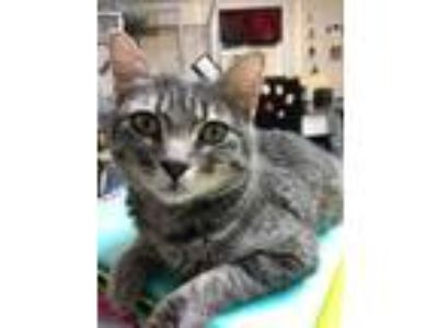 Adopt Mama Grey a Gray or Blue Domestic Shorthair / Mixed cat in Merriam