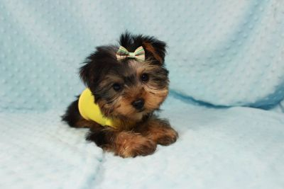 Perfect Little Yorkie Puppies!