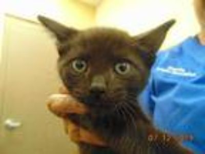 Adopt FRED a All Black Domestic Shorthair / Mixed (short coat) cat in Memphis