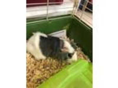 Adopt Nimbus a Silver or Gray Guinea Pig / Guinea Pig / Mixed small animal in