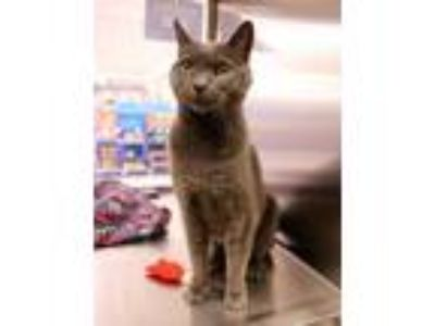 Adopt Poppy a Gray or Blue Domestic Shorthair / Mixed cat in Salem