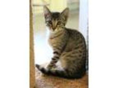 Adopt Rollerblade a Brown or Chocolate Domestic Shorthair / Domestic Shorthair /