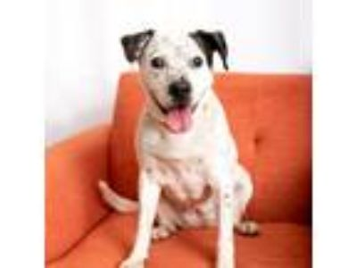 Adopt Kiwi a White - with Black Shepherd (Unknown Type) / Mixed dog in Mission