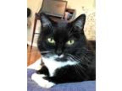 Adopt Miss Kitty Black a Tuxedo